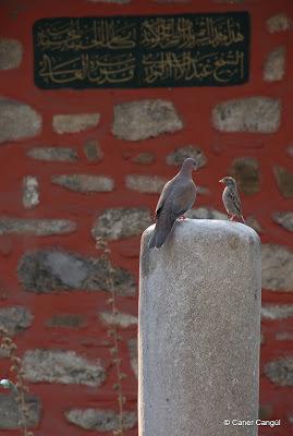 Bir Mezar Taşı üzerinde Su İçen Güvercin ve Serçe