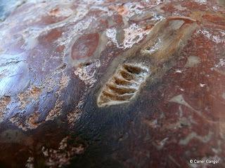 Mermer üzerindeki fosil kalıntısı